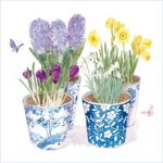 Crocuses in pots